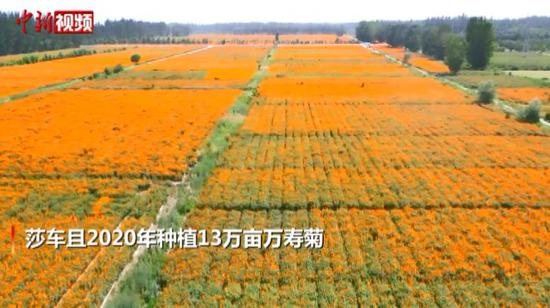 新疆喀什莎车县万寿菊种植 助力脱贫
