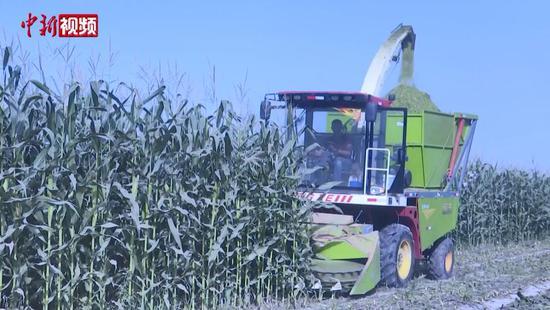 新疆喀什岳普湖县收割青贮饲料玉米 确保牲畜安全过冬