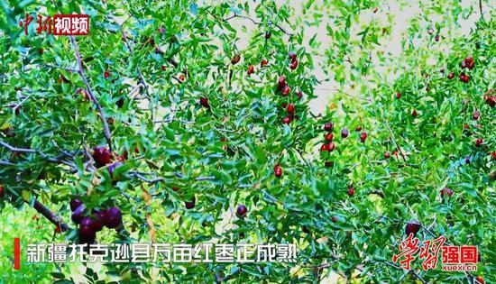 新疆托克逊县万亩红枣正成熟