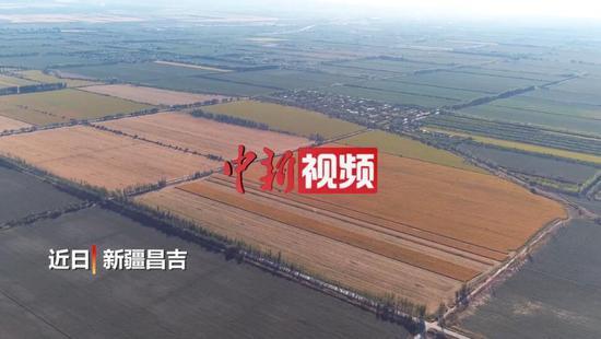 新疆昌吉玛纳斯5.5万亩玉米丰收