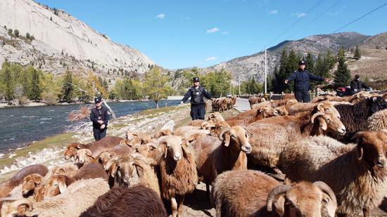 民警帮助转场牧民驱赶羊群。