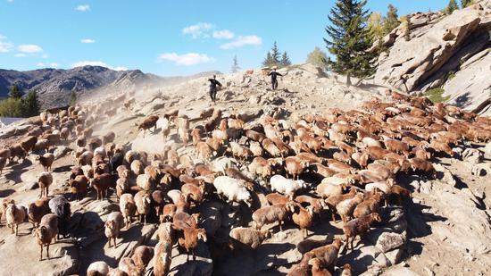 新疆阿勒泰转场护牧队:护航牧民转场