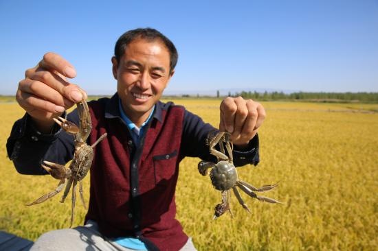 新疆察布查尔县:稻蟹双丰收景象