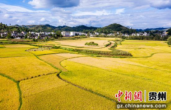 贵州省毕节市黔西县洪水镇解放村待收水稻。 范晖摄