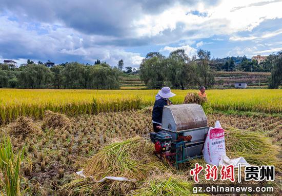 贵州省毕节市黔西县洪水镇解放村群众在抢收水稻。范晖摄