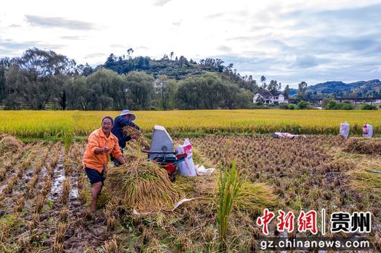 贵州省毕节市黔西县洪水镇解放村群众在抢收水稻。范晖 摄