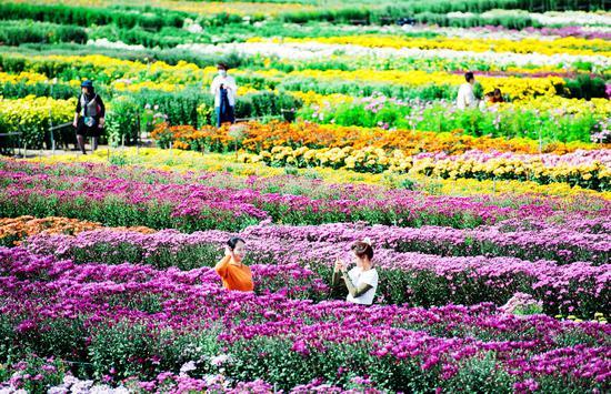 第三届农民丰收节暨第九届新疆昌吉菊花展盛大开园