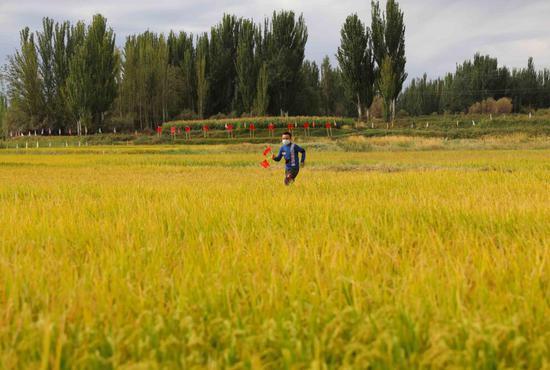 新疆喀什市万亩稻田迎丰收 欢聚一堂话桑麻
