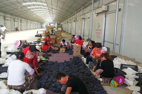 该公司葡萄种植基地每年吸纳本地季节性短期务工1.5人次。王安妮摄