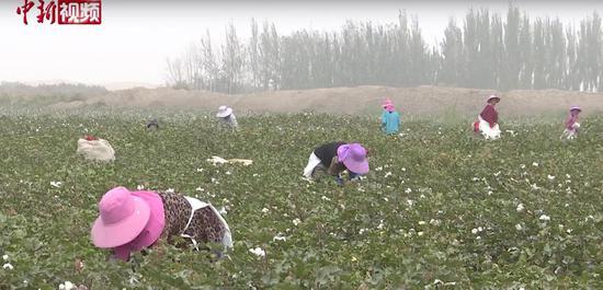 新疆喀什岳普湖棉花喜获丰收 农民拾花忙