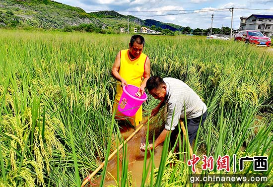 """桂林灌阳县:稻鱼""""跃上""""致富路"""