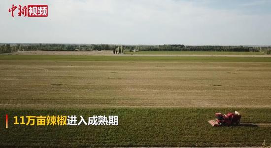 新疆和硕11万亩辣椒陆续转红 采摘季或早于去年同期