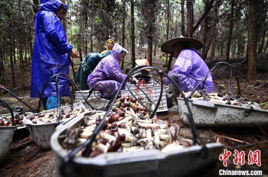 贵州从江:林下栽培大球盖菇 丰产又增收