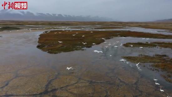 新疆巴音布鲁克草原上万只天鹅为南迁做准备