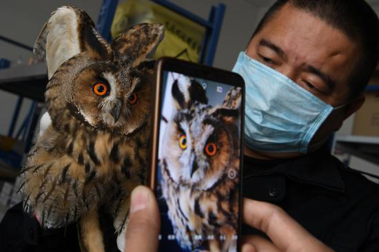 克拉瑪依:救助國家二級保護野生動長耳鸮