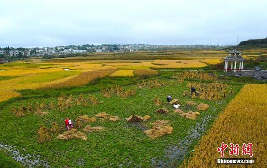 9月30日,贵州省贵阳市高坡苗乡的收获季景象。 中新社记者 侯宇 摄