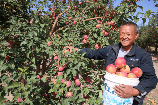 察布查尔县:苹果红 果农乐