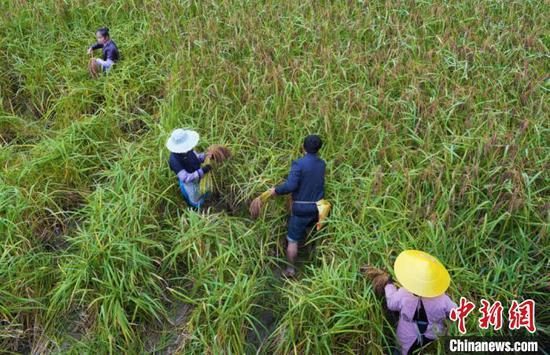 村民在收割糯稻。李宇斌 摄