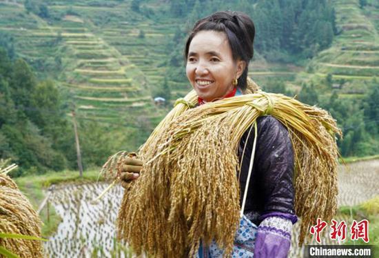 村民把田间收割的糯稻放在肩上。李宇斌 摄