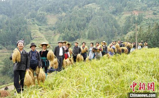 村民把田间收割的糯稻拿回家。李宇斌 摄