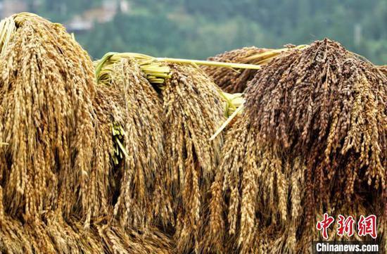 美德村村民收割的糯稻。李宇斌 摄