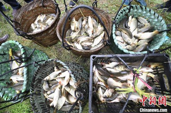 高增乡建华村侗族村民在展示抓到的稻田鱼。 吴德军 摄