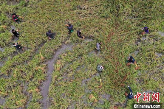 高增乡建华村侗族村民在抢收香禾糯(无人机照片)。 吴德军 摄