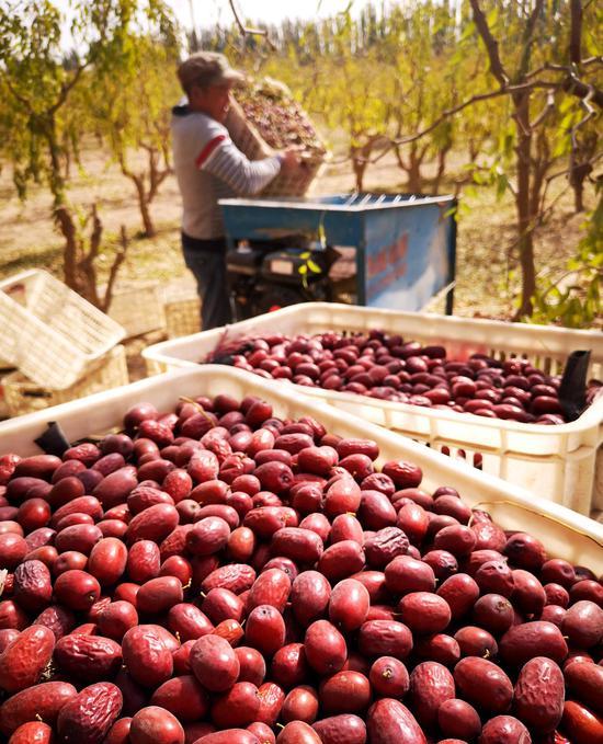 兵团第一师九团七连职工种植红枣喜获丰收