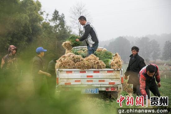 村民在贵州省毕节市黔西县雨朵镇平坝村将采收的香葱装车。 罗大富 摄