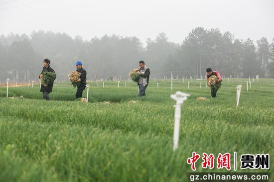村民在贵州省毕节市黔西县雨朵镇平坝村搬运采收的香葱。罗大富 摄
