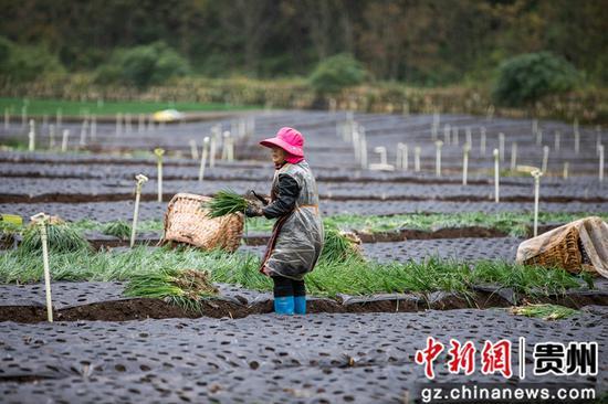村民在贵州省毕节市赫章县松林坡乡半边街社区香葱基地里种植香葱。 罗大富  摄