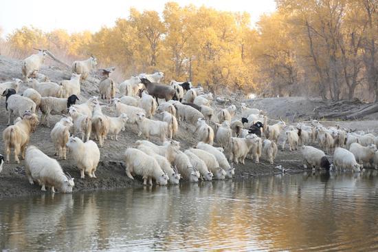 10月18日,轮台县草湖乡可可桥村牧民正在赶着羊群在湖边饮水。
