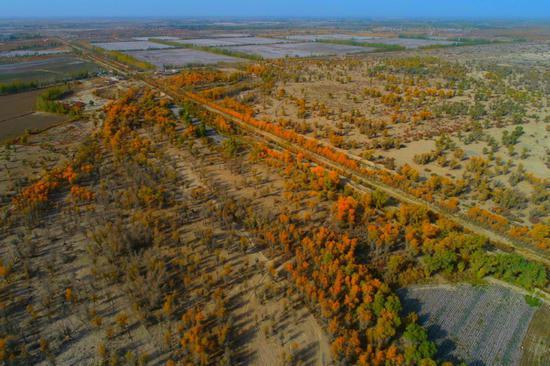 新疆阿瓦提:大漠披上黄金甲