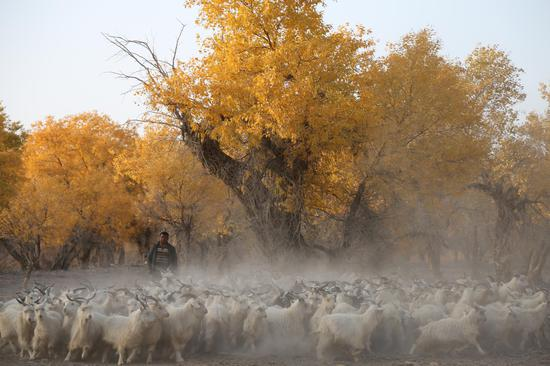 10月18日,轮台县草湖乡可可桥村牧民正在赶着羊群前往农田。