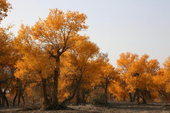 金色胡杨如诗如画。