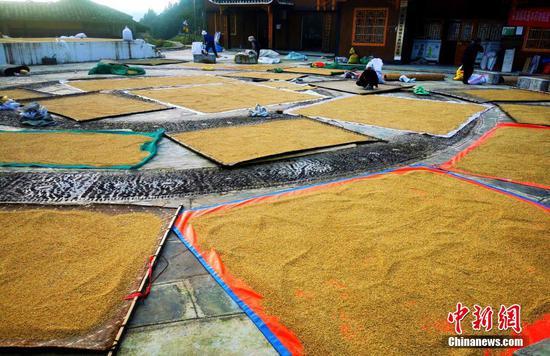 图为贵州雷山苗族同胞在房前屋后晒稻谷。 杨天宇 摄