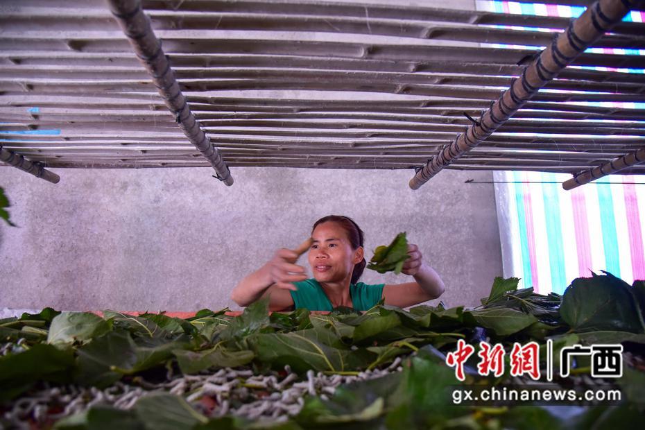 柳州里高镇家家种桑养蚕 年产值逾亿元