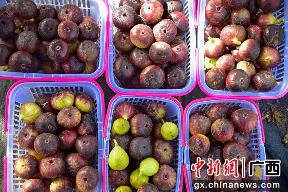 广西柳江立体种养无花果 年亩产值达3000元