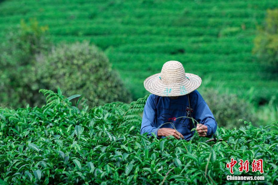 广西昭平:生态有机茶进入采摘季