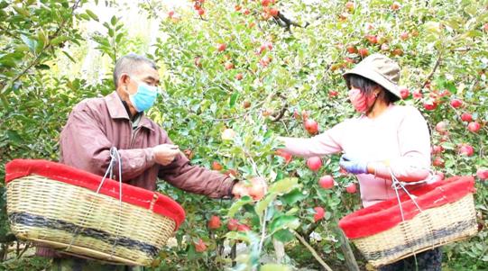 """新疆库车市:""""冰糖心"""" 苹果甜了果农心"""