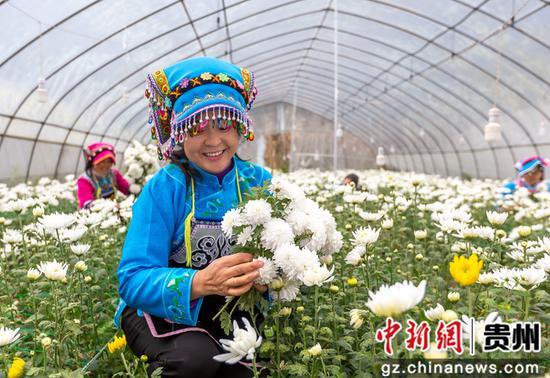 贵州省毕节市黔西县钟山镇铜鼓村村民在采收白菊。范晖 摄