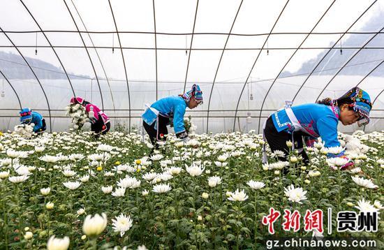 贵州省毕节市黔西县钟山镇铜鼓村村民在采收白菊。 范晖 摄