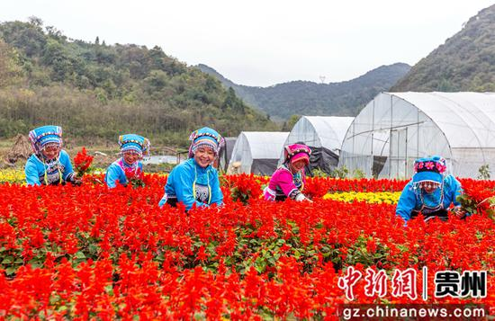 贵州省毕节市黔西县钟山镇铜鼓村村民在进行花卉去枝管护。范晖 摄