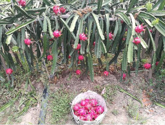 大棚火龙果种植园 江文辉 摄