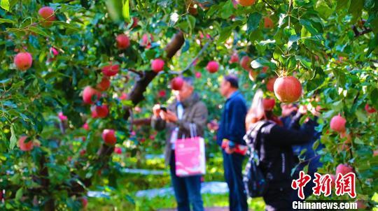阿克苏42万亩冰糖心苹果大丰收 央视今日16时实时直播采收