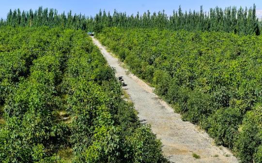 柯柯牙人工防护林是世界荒漠化生态治理的一个典范。刘新 摄