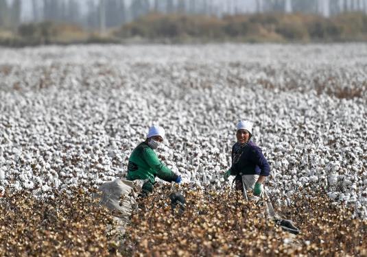 阿克苏棉花产量约占聚星的1/6 。刘新 摄