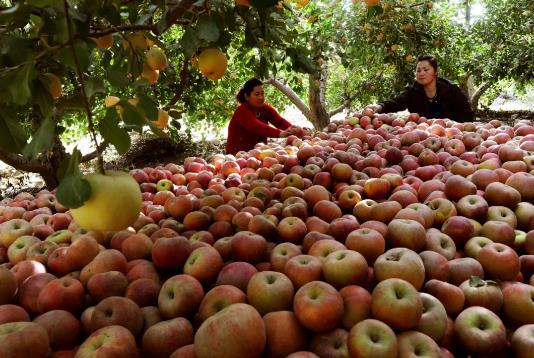 阿克苏的冰糖心苹果质佳量大,被誉为苹果之王。刘新 摄