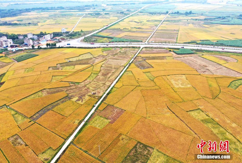 航拍广西乡间稻田 宛如大地铺上黄金地毯