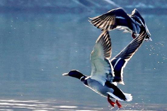 新疆阿克苏:国家湿地公园迎来迁徙候鸟